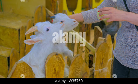 Woman feeding white goats - Stock Image