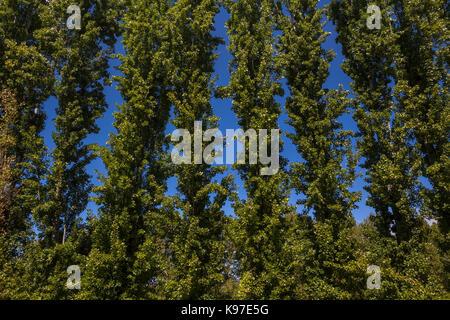 Poplar trees, Jordan Winery, Healdsburg, Alexander Valley, Sonoma County, California, United States, North America - Stock Image