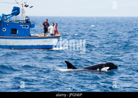 Orca, or killer whale (Orcinus orca) feeding near the boats of Moroccan fishermen, trying to snap / steal the tuna from them - Stock Image