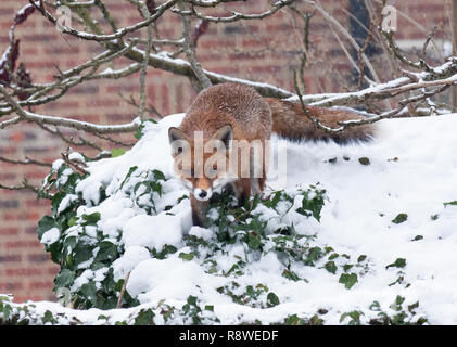 urban Red Fox, Vulpes vulpes, in winter snow standing on garden shed roof, London, United Kingdom - Stock Image