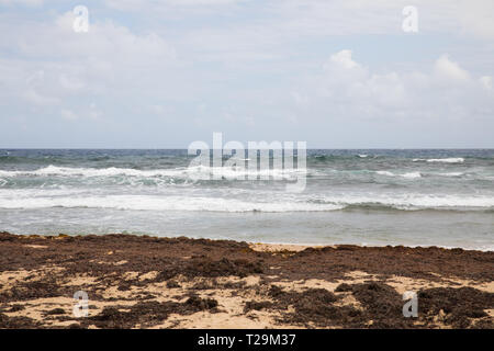 Palm Trees blow in the wind by the edge of the Atlantic Ocean in Barbados - Stock Image