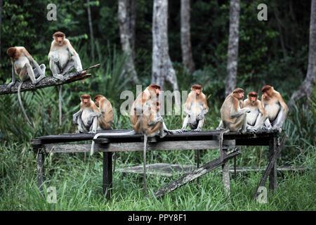 Proboscis monkeys at Labuk Bay in Sabah, Borneo - Stock Image
