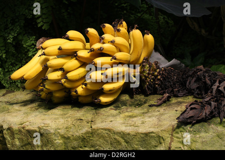 A Hand of Ripe Bananas, Dwarf Cavendish Banana, Musa acuminata, Musaceae. - Stock Image