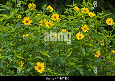 A bed Of Yellow Rudbeckia - Stock Image