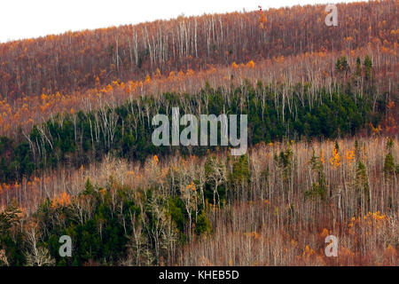 Rows and symmetry of similar trees show an array of autumn colors on this hillside in Kings County, New Brunswick, - Stock Image