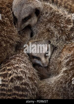 The face of a meerkat peering through a pile of other meerkats - Stock Image
