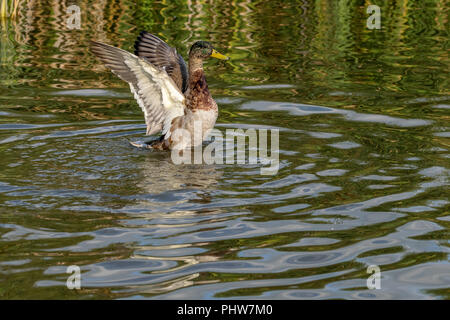 Juvenile first season male drake mallard duckling with outstretched wings - Stock Image