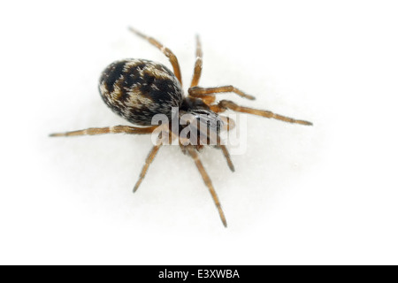 Female Barbed mesh-weaver (Dictyna uncinata) spider, part of the family Dictynidae -  Meshweavers. Isolated on white - Stock Image