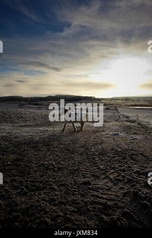 A Tinker horse is approaching on a frosty pasture under a cloudy sky in Anundsjoe, Sweden. - Stock Image