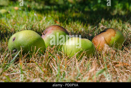Windfall apples which have fallen from an apple tree lie in the grass - Stock Image