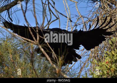 An Australian, Queensland Torresian Crow ( Corvus orru ) flying towards camera from a tree - Stock Image
