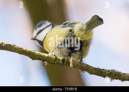 blue tit cloaca visible as it defecates - Stock Image