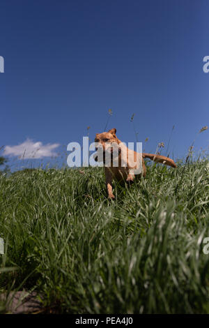 Dog jumping though tall grass stick in mouth blue sky - Stock Image