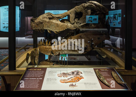 The real fossil skull of famous 'Sue' the T. Rex in display. The Field Museum, Chicago, Illinois, USA. - Stock Image