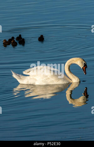 North Cave East Yorkshire 24nd June 2018: Evening reflections of swans on a hot day around the reedbeds, including a Black swan which breeds mainly in the southwest regions of Australia, a small population of black swans exists on the River Thames.  Clifford Norton Alamy  Live News. - Stock Image
