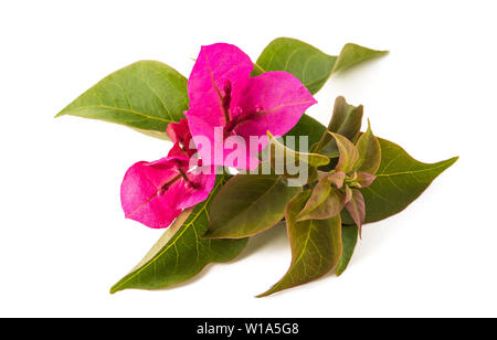 Bougainvillea  flowers isolated on white background - Stock Image