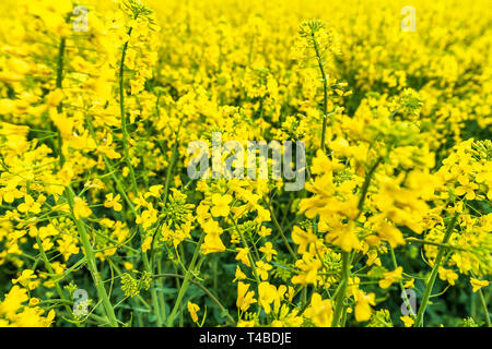 Scenic rural landscape with yellow rape, rapeseed or canola field. - Stock Image