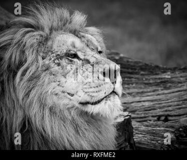 Black and white close up image of a majestic, battle-scarred male lion's face - Stock Image