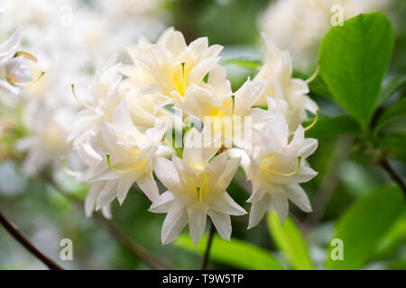 Rhododendron 'Ariadne' flowers. - Stock Image
