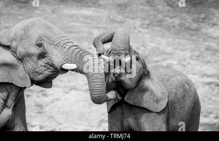 Detailed, black and white close up of African elephant mother tickling young elephant under his chin with her trunk. - Stock Image