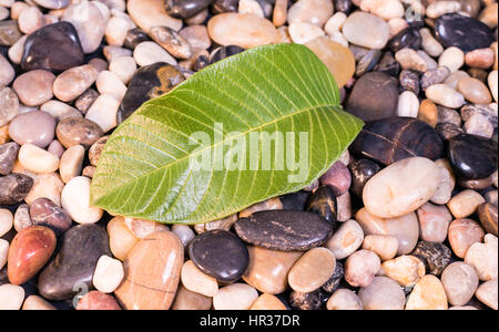 A green Guava leaf from a tree freshly fallen  onto river rocks - Stock Image