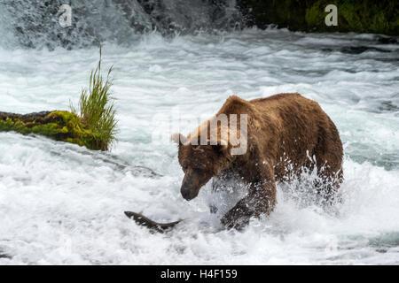 Brown Bear hunting for salmon in the river, Brooks river, Katmai National Park, Alaska - Stock Image