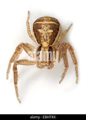 (Xysticus ulmi) Female Xysticus ulmi spider on white background. Family Thomisidae, Crab spiders. - Stock Image