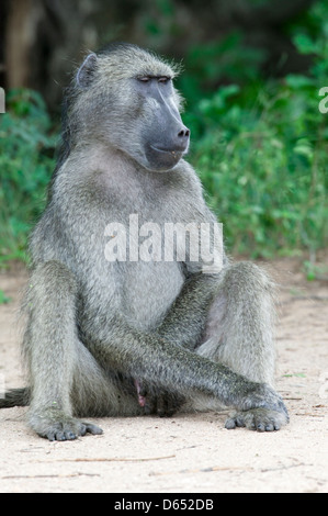 Chacma baboon Papio ursinus sitting a on a sandy patch in the savanna scratching his genitalia - Stock Image