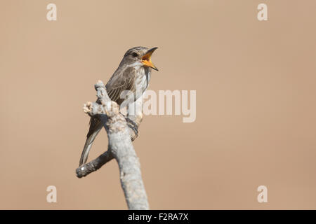 Spotted Flycatcher in full song in Andalucia - Stock Image