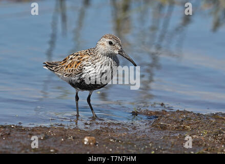 Dunlin (Calidris alpina) adult standing at waters edge  Eccles-on-Sea, Norfolk, UK                  May - Stock Image