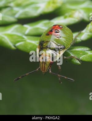 Juniper Shieldbug mid instar nymph (Cyphostethus tristriatus) perched on Lawson's Cypress. Tipperary, Ireland - Stock Image