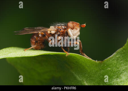 Conopid Fly (Conops testacea) perched on plant leaf. Tipperary, Ireland - Stock Image