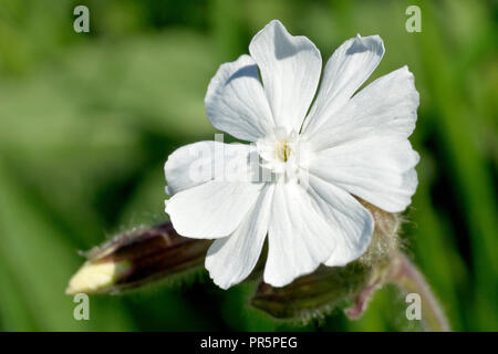 White Campion (silene alba), close up of a single flower with buds. This is the male flower. - Stock Image