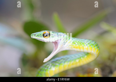 A green-headed tree snake in the rain forest of Costa Rica. - Stock Image