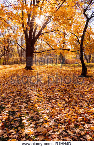Autumn foliage maple leaves fallen from deciduous trees in fall in Colonel Danforth Park in Toronto Ontario Canada. - Stock Image