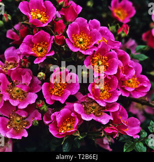 Close up of Roses 'Centre Stage' - Stock Image
