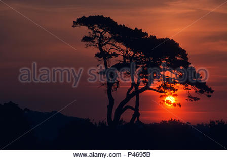 A pine tree silhouetted against the rising sun - Stock Image