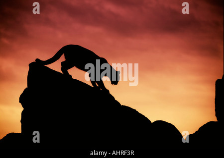 mountain lion silhouette on the rocks at sunset - Stock Image