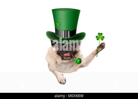 st patricks day pug puppy dog with green leprechaun hat and pipe, holding up shamrock clover, isolated on white - Stock Image