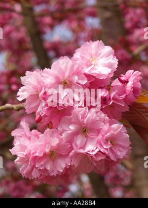 Cherry blossom in springtime Norfolk England - Stock Image