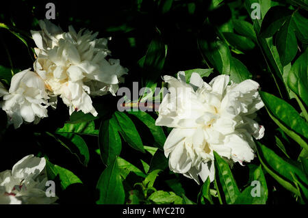 Peonies Flower blossom - Stock Image