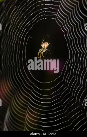 Long-jawed Orb Web Spider in the centre of its web - Stock Image