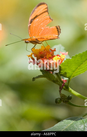 Orange julia longwing butterfly on a pink and yellow flower B - Stock Image