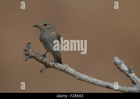 Spotted Flycatcher in Andalucia - Stock Image