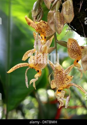 Jenisch's Stanhopea, Stanhopea jenischiana, Orchidaceae. Tropical South America. Panama, Venezuela, Colombia, Ecuador and Peru. - Stock Image