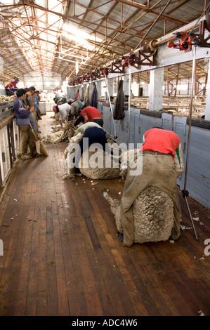 Sheep Shearing in Estancia Maria Behety near Rio Grande, Isla Grande de Tierra del Fuego, Argentina - Stock Image