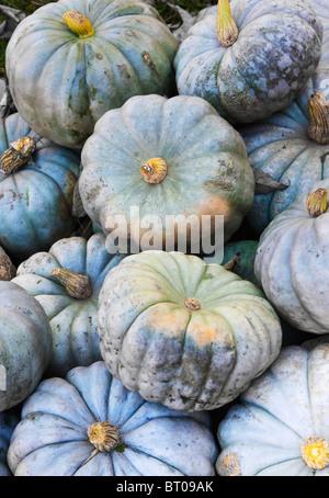 Blue farm pumpkins - Stock Image