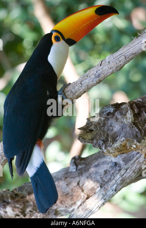 Toucan - Vertical profile from slightly behind B (Argentina 2005) - Stock Image