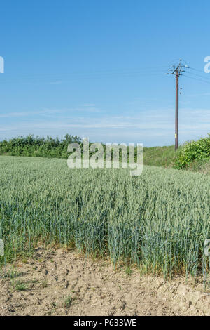 Green wheat crop ripening in field with blue summer sky. - Stock Image