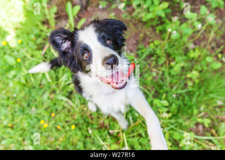Funny outdoor portrait of cute smilling puppy border collie sitting on grass background. New lovely member of family little dog gazing and waiting for - Stock Image
